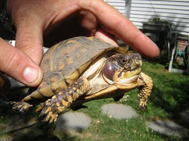 Ear Abscesses in Turtles and Tortoises - Veterinary Partner