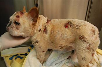 Lymphoma In The Skin Of Dogs And Cats Veterinary Partner Vin