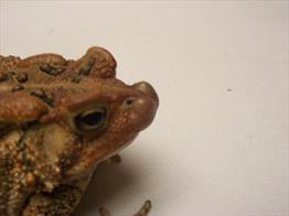 Mycobacteriosis in Amphibians - Veterinary Partner - VIN