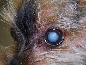 Cataracts in Dogs and Cats - Veterinary Partner - VIN