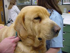 Hypothyroidism Is The Most Common Hormone Imbalance Of Dogs