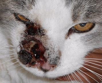Squamous Cell Carcinoma In Cats Veterinary Partner Vin