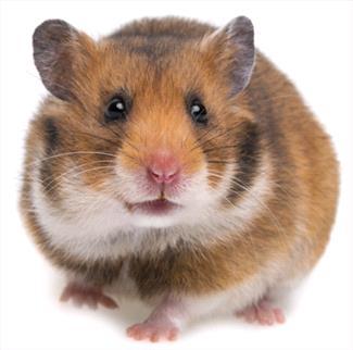 Hamsters as Pets - Veterinary Partner - VIN