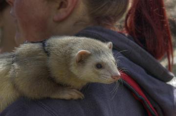 Nutrition for Ferrets - Veterinary Partner - VIN