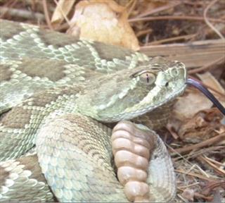 Rattlesnake Bites in California - Veterinary Partner - VIN