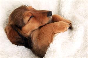 Vaginitis in Puppies - Veterinary Partner - VIN