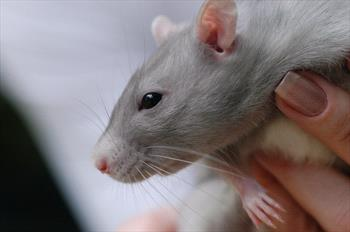 Mouse and Rat Care - Veterinary Partner - VIN