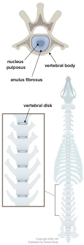 Intervertebral Disk Disease in Dogs - Veterinary Partner - VIN
