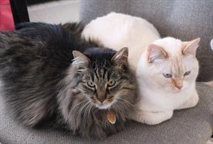 Infiltrative Bowel Disease in Cats - Veterinary Partner - VIN