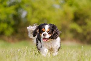 Syringomyelia in Dogs - Veterinary Partner - VIN