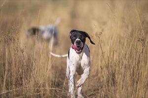 Testicular Cancer in Dogs - Veterinary Partner - VIN