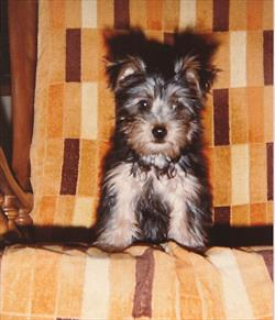 Hypoglycemia (Low Blood Sugar) in Toy Breed Dogs