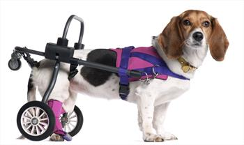 Paralyzed Dogs: How to Care for Them - Veterinary Partner - VIN
