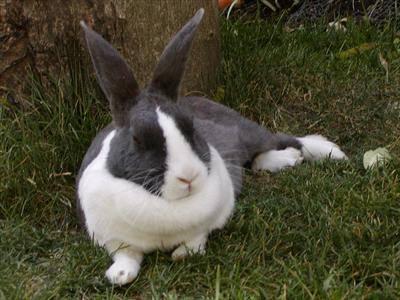 Rabbits: Hind Limb Weakness - Veterinary Partner - VIN