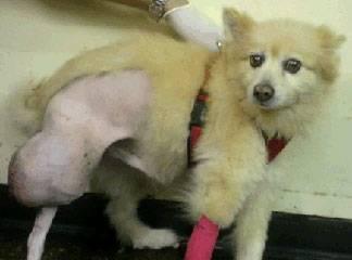 Hemangiopericytoma in Dogs - Veterinary Partner - VIN
