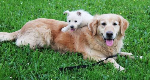 Roundworms in Dogs and Puppies - Veterinary Partner - VIN