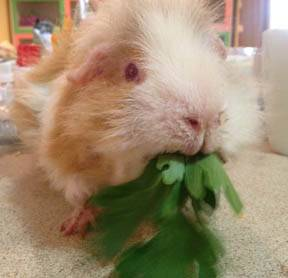 Guinea Pigs as Pets - Veterinary Partner - VIN