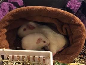 Guinea Pigs as Pets - Veterinary Partner - VIN